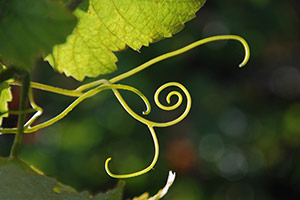 Vine tendril