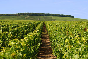 Vineyard in Vertus
